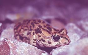 Обои глаз, лягушка, земноводное