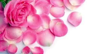 Обои капли, роза, влага, лепестки