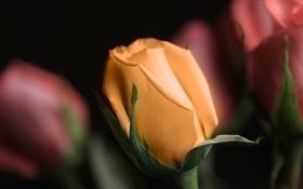 Картинка фон, роза, лепестки, стебель, бутон