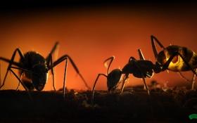 Обои насекомые, муравьи, крупным планом
