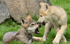 Обои щенки, волки, волчата