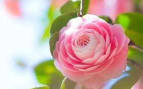 Картинка листья, камелия, цветение, розовая, лепестки, бутон, нежность
