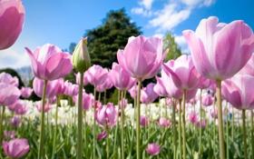 Картинка природа, тюльпаны, розовые, бутоны, много