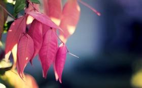 Картинка листья, макро, природа, розовый, растение, цвет, nature