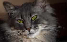 Обои кошка, усы, серая, ушки, пушистая, зеленоглазая, портрет п