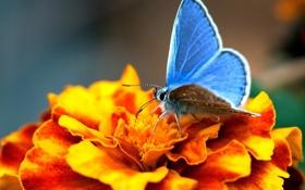 Обои цветок, голубянка, оранжевый, макро, бабочка