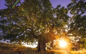 Обои трава, солнце, закат, природа, дерево, саванна