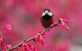 Обои цветы, фон, птица, ветка, весна, розовые