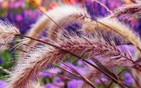 Обои колоски, Макро, растение, капли, роса