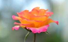 Картинка стебель, роза, лепестки, макро