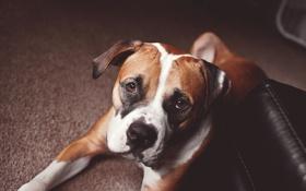Обои друг, boxer, взгляд, собака