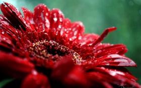 Обои Макро, Цветы, Природа, Роса