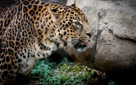 Обои кошка, камень, леопард, профиль