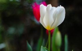 Обои розовый, белый, цикламен, зелень, фокус, цветы