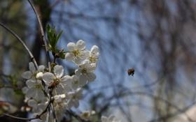 Картинка весна, пчела, полет, цветы