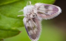 Картинка лист, бабочка, пушистый, мотылек