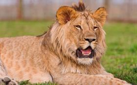 Обои Лев, львенок, молодой лев