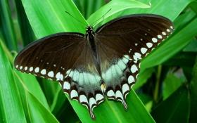 Обои парусник, тропики, листва, бабочка