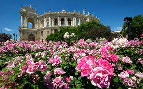 Обои цветы, здание, розы, театр, Украина, кусты, Одесса