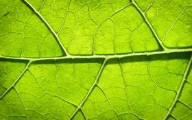 Обои листья, зелень, лист, листок