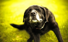 Обои green, dog, bokeh, Labrador Retriever