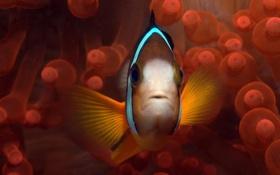 Картинка водоросли, рыбка, подводный мир, Palau, Clown Fish, анимоны