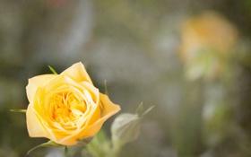 Картинка цветок, желтый, роза, лепестки