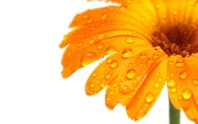 Обои оранжевая, Гербера, белий фон