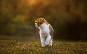 Картинка кошка, трава, свет, природа, размытость, шотландская вислоухая