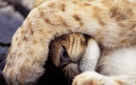 Обои лапа, лев, львенок