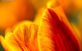 Обои цветок, макро, желтый, тюльпан