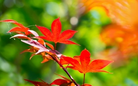 Картинка листья, фон, ветка, красные, клен, японский