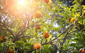 Картинка leaves, fruits, природа, апельсины, oranges, фрукты