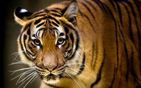 Картинка взгляд, тигр, фон