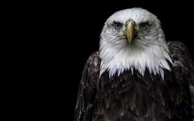 Обои природа, птица, орёл