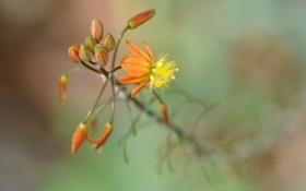 Картинка цветок, оранжевый, фон, ветка, размытость, бутоны