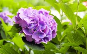 Обои листья, цветы, куст, цветение, цветки, фиолетовая гортензия