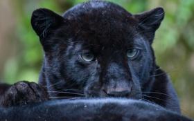 Обои кошка, взгляд, леопард, leopard