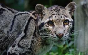 Картинка морда, хищник, дикая кошка, дымчатый леопард