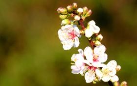 Обои макро, цветы, природа, ветка, весна, сакура, цветение