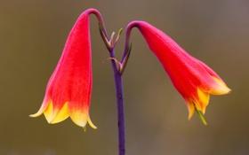 Обои цветок, краски, Австралия, Новый Южный Уэльс, Gibraltar Range National Park