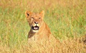 Обои взгляд, морда, хищник, лев, саванна, львица