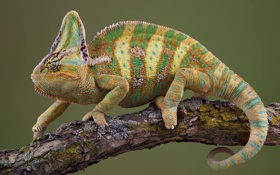 Картинка chameleon, branch, lizard, reptile