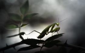 Картинка листья, макро, растение, богомол, насекомое