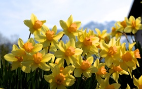 Картинка нарциссы, весна, желтые, много, солнечно, цветы