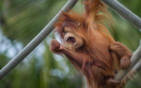 Обои природа, фон, обезьяна