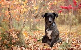 Обои осень, взгляд, собака