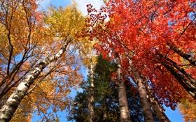 Картинка осень, небо, листья, деревья, багрчнец