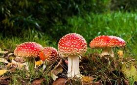 Обои лес, гриб, мухомор, шляпка, ножка