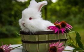 Обои цветы, кролик, белый кролик
